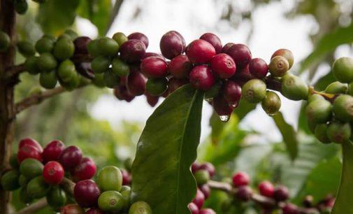 Cayó la producción de café en Colombia