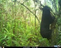 Grupo poblacional de oso de anteojos, reportado en zona rural de Neiva