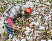 Incentivos en Colombia para cultivar algodón