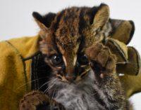 Cría de tigrillo rescatada en Isnos